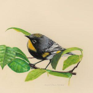 Audubon's Warbler Pastel (17x13)