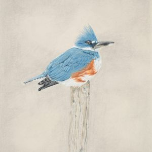 Belted Kingfisher (13x14)
