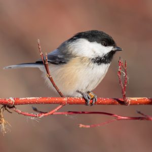 Black-Capped Chickadee-2