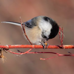 Black-Capped Chickadee-3