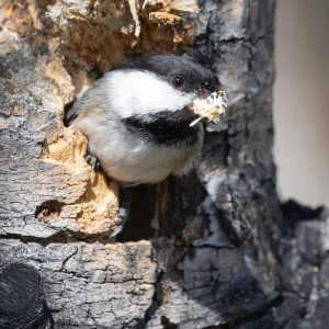 Black-capped Chickadee nest building