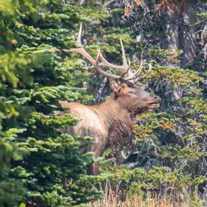 Bull Elk calling his Harem
