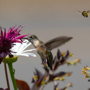 Calliope Hummingbird & Bumblebee