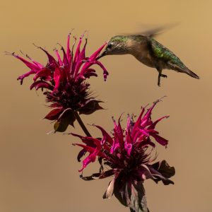 Calliope Hummingbird, Lunch Time
