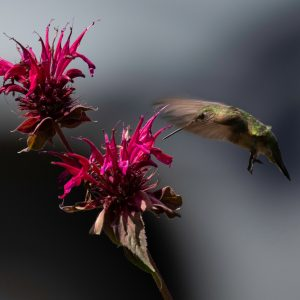 Calliope Hummingbird on Bee Balm_02