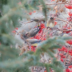 Cedar Waxwings on Mountain Ash
