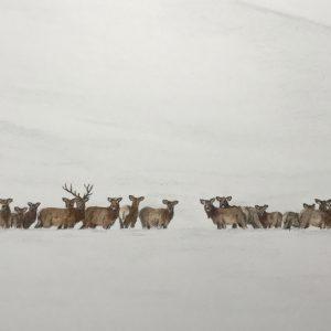 Elk Herd, Hailey (Sold)