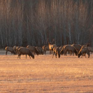 Elk Herd, Silver Creek Preserve