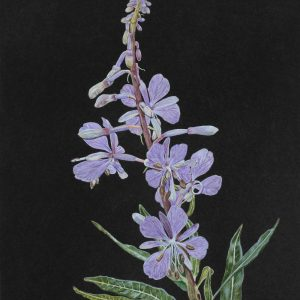 Fireweed (11x15)