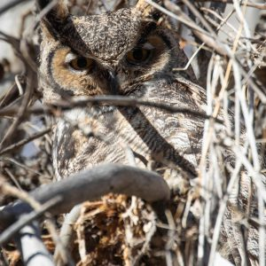 Grerat Horned Owl