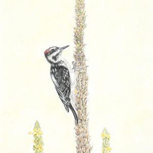 Hairy Woodpecker on Mullein (9 1:2x22 1:2)