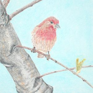 House Finch (10 1:2x16 1:2)