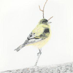 Lesser Goldfinch (14x17)