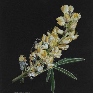 Longspur Lupine (14x17)