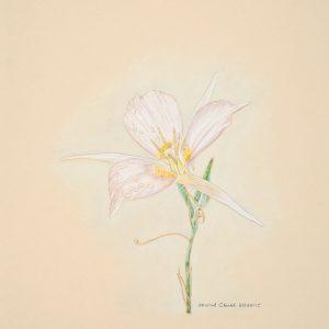 Mariposa Lily (10x11)