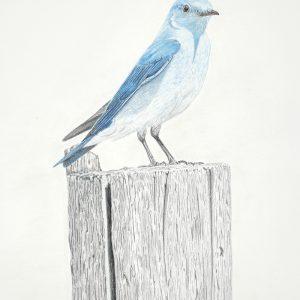 Mountain Bluebird (12x16)