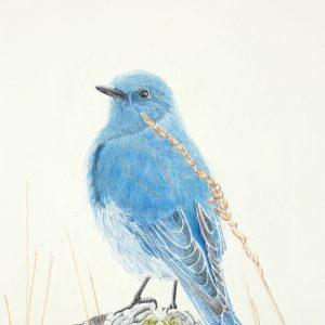 Mountain Bluebird on Rock (14x8 1:2)