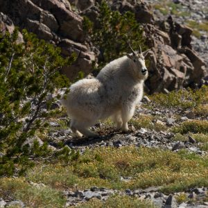 Mountain Goat, Norton Peak