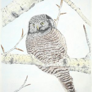 Northern Hawk Owl (13 1:2x17)