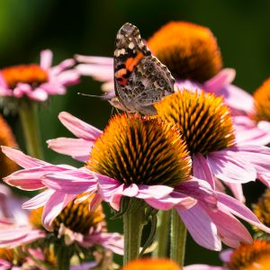 Painted Lady on Echinacea
