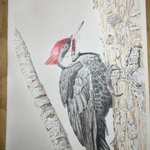 Pileated Woodpecker (9x14)