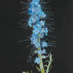 Purple-fringe Phacelia sericea (11x15)