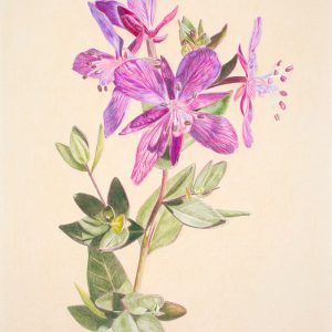 Red-Willow Herb (9 1:2x13 1:2)