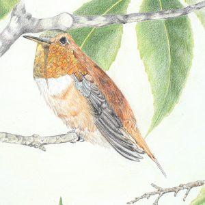Rufous Hummingbird (12 1:2x12)