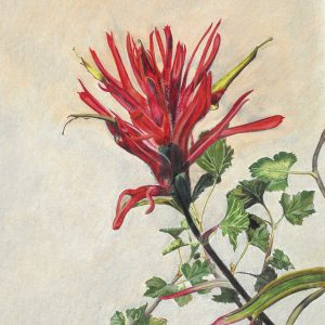 Scarlet Paintbrush, Castilleja miniata