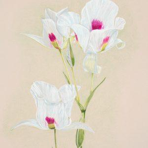 Sego Lily (11x15)