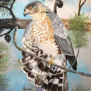 Sharp-shinned Hawk (17x22)