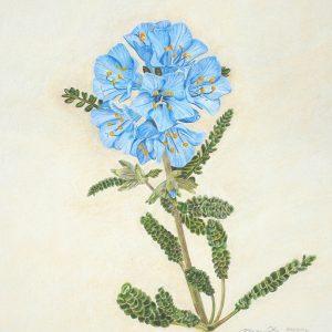 Showy Polemonium, Polemonium pulcherrimum