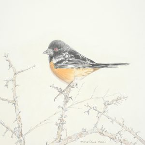 Spotted Towhee (13 1:2x14)