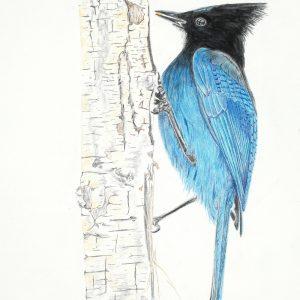 Steller's Jay (13x23)