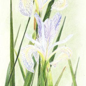 Western Iris (9 1:2x24)