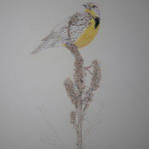 Western Meadowlark on Mullein (24x18)