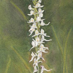 White Bog Orchid, Platanthera dilatata