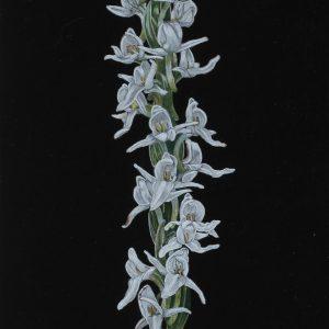 White Bog Orchid on Black (7x17)