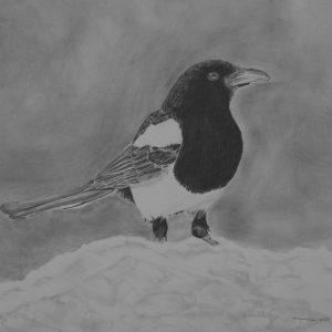 Black-billed Magpie in the Snow_graphite