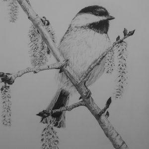 Black-capped Chickadee on Aspen Branch_graphite